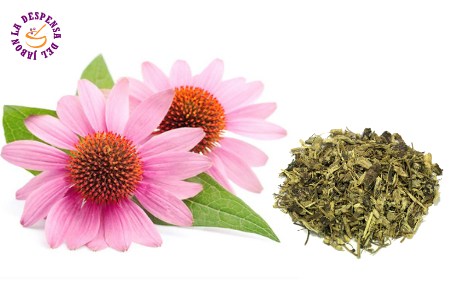 Echinacea cultivation Ecological