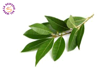Laurus Nobilis Leaf Growing Ecological